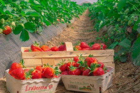 Erdbeeren2019-2